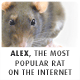 Alex - Internet's most popular rat - Martin Krzywinski / Genome Sciences Center / mkweb.bcgsc.ca