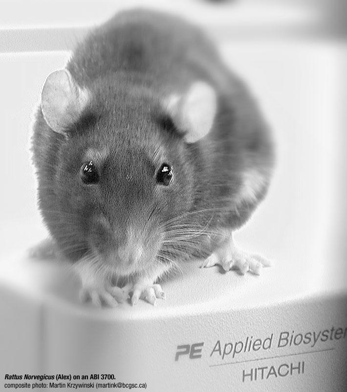 Rat (Rattus Norvegicus) on a Genome Sequencer: Alex on an ABI 3700 ...