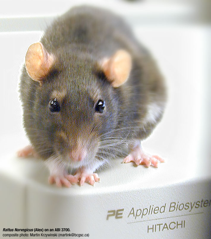 Rat [Rattus Norvegicus] on Genome Sequencer: Alex on an ABI 3700 ...